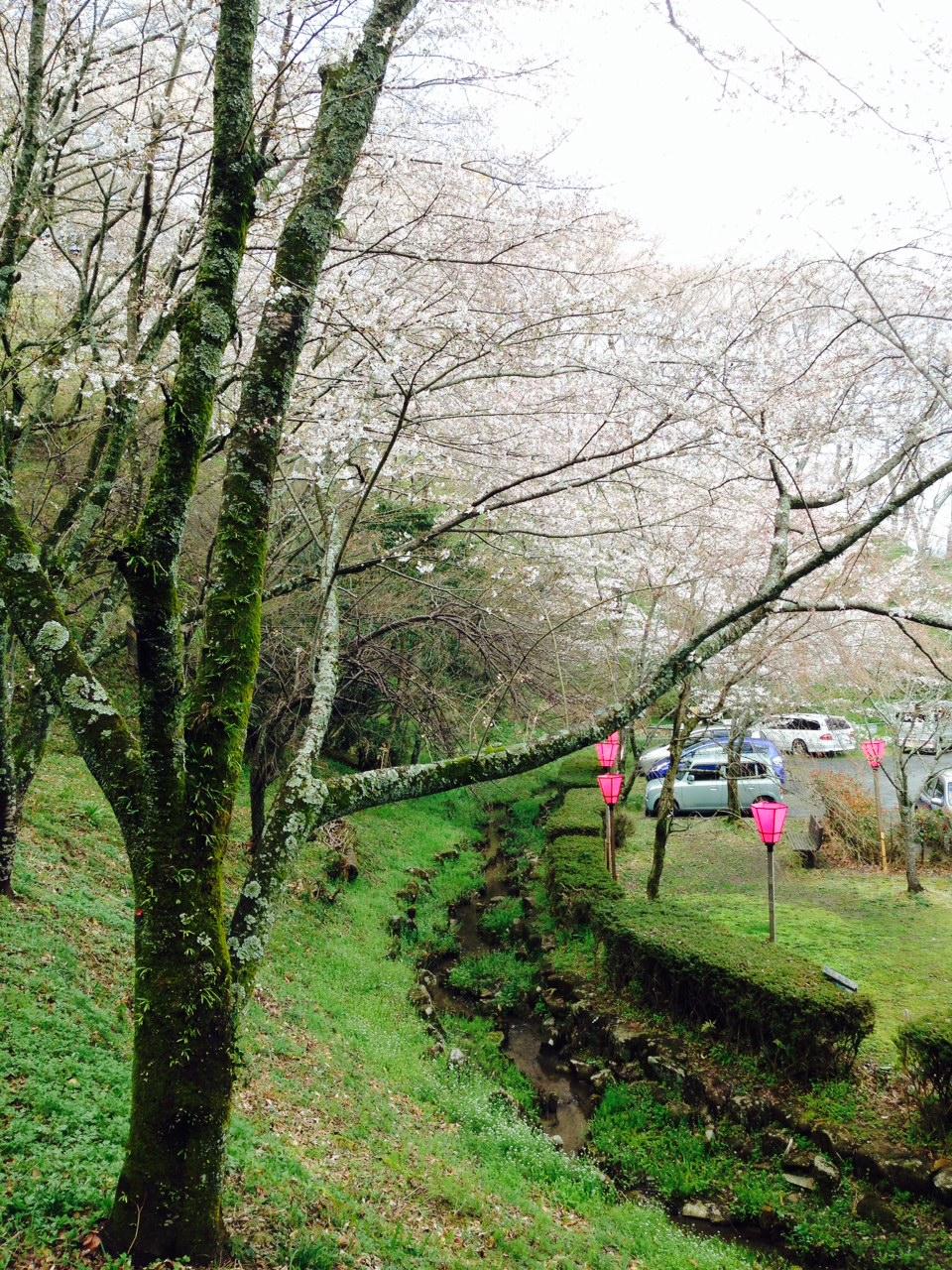 桜並木が綺麗です